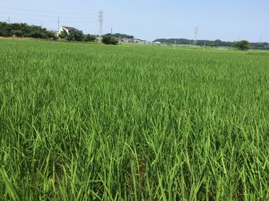 7月の田んぼ
